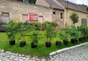 Sadzonki krzewów ozdobnych