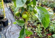 Sadzonki drzewek owocowych