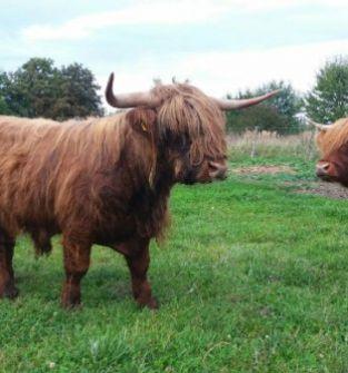 Bydło szkockie - ekologiczne