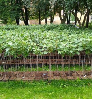 Sadzonki krzewów owocowych