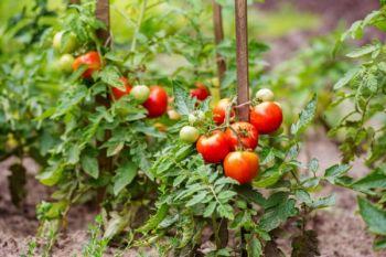 pomidor rozsada